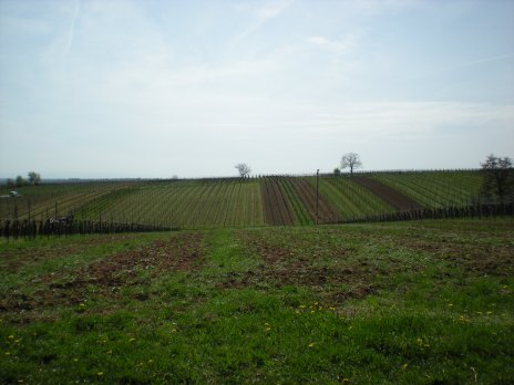 A field of future wine!
