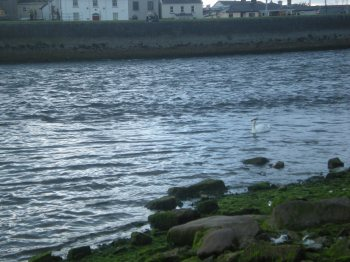I couldn't get a picture of swans flying, but here's one swimming...