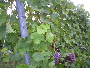 Grapes, waiting to become wine
