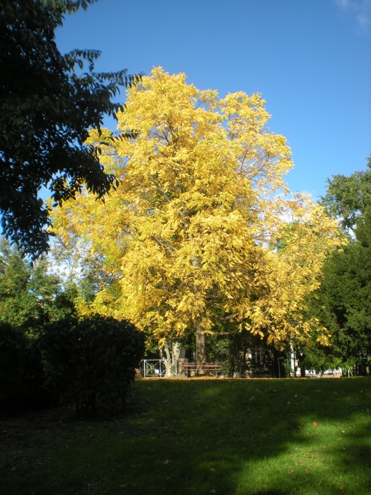 This tree in the Nymphengarten has decided to embrace the colours of autumn...