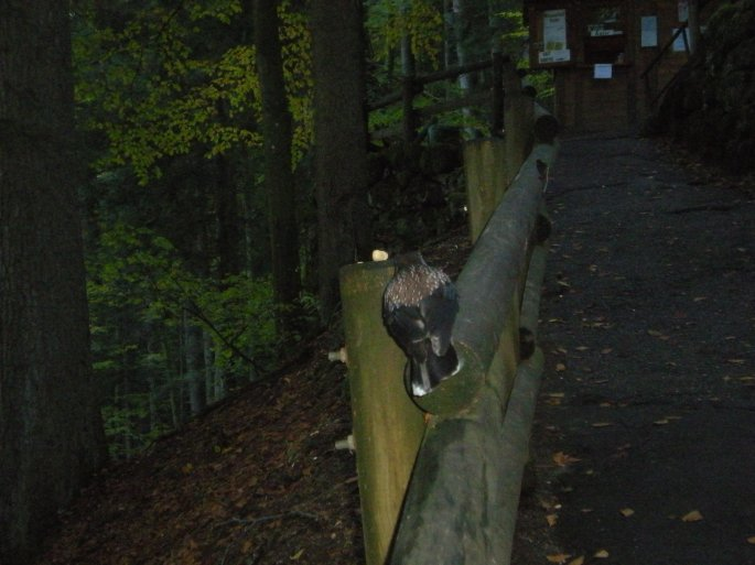 Triberg bird