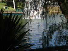 A swan, viewed through the trees