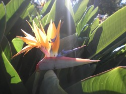 "A ""bird of paradise flower"""