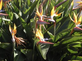 When there are lots of Strelitzia together, they look like cranes who have just popped their heads up to see what's going on!