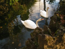 Swans in Monte Municipal Park