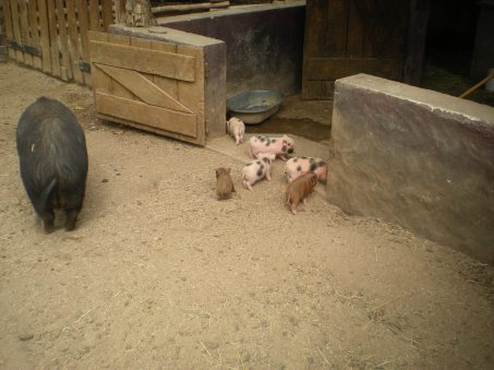 Mini pigs... look how tiny the piglets are!