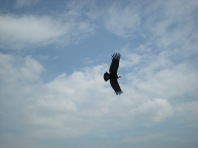 Bird of prey... flying high