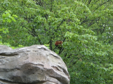 I promise there's a red panda in that tree...