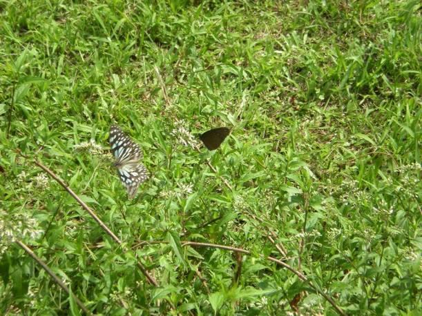 Butterflies at Buluowan