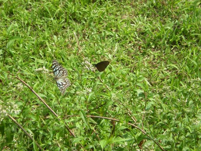 Butterflies at Buluowan
