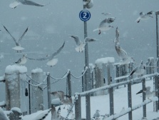 Gulls going mad for bread