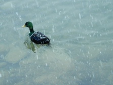 No duck, don't swim out of my picture!