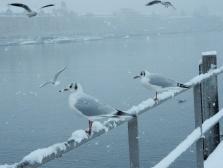 Gulls at Lake Zurich