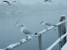 Gulls at Lake Zurich
