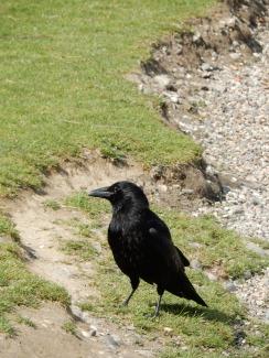 Hullo crow!