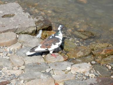 Cool looking pigeon