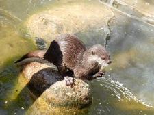 dwarf otter2