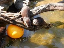 dwarf otters