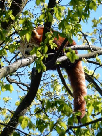 red panda3