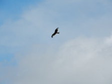 Bird of prey... flying in the sky