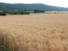 A random field of corn... still in Switzerland, I think?