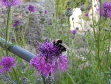 A bee at Landskron castle