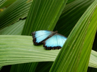 Blue Morpho? Maybe?