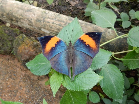 Blue and orange butterfly