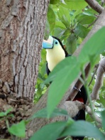 Another toucan