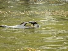 Swim seal, swim!