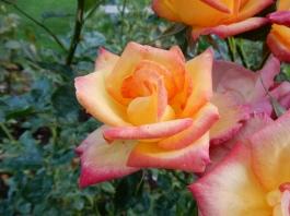 Multi-coloured roses!