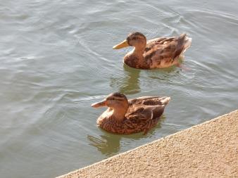 10_ducks