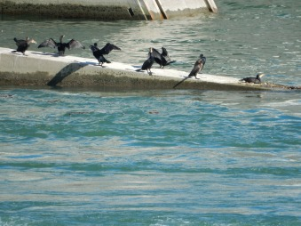 Cormorants!