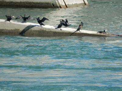 Cormorants!