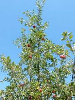 We spied a fruit tree as we walkd through the fields