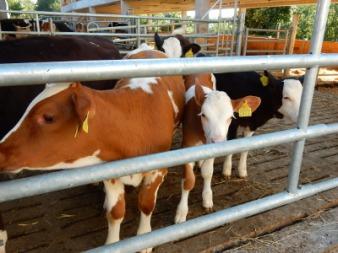 9-cows