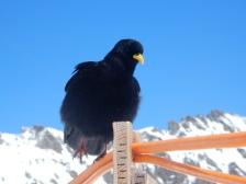 Jungfraujoch bird