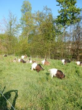 9 goats